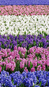 Image Fields Hyacinths Many Multicolor Flowers