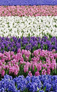 Fotos Felder Hyazinthen Viel Mehrfarbige Blumen