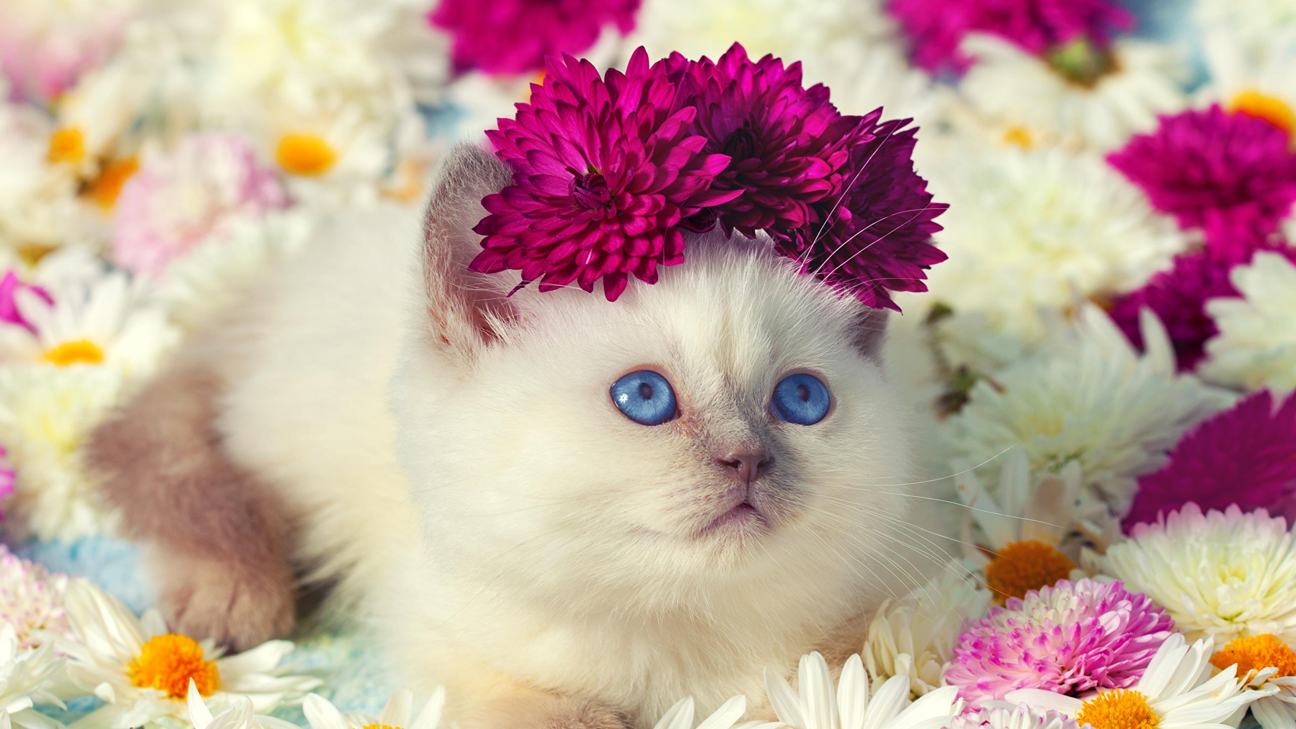 壁紙 2560x1440 飼い猫 カモミール 菊 凝視 子猫 可愛い 動物