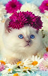 Fotos Hauskatze Kamillen Chrysanthemen Starren Kätzchen Süßes Tiere
