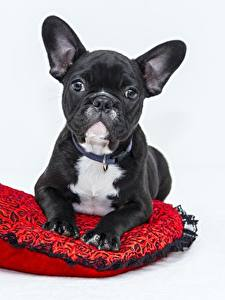 Bilder Hunde Schwarz Bulldogge Grauer Hintergrund Starren Tiere