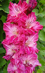Hintergrundbilder Schwertblume Großansicht Rosa Farbe Blumen