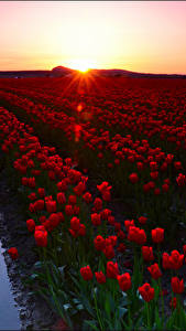 Photo Sunrises and sunsets Fields Tulips Many Red Flowers