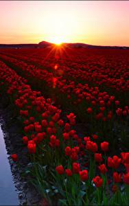 Bilder Sonnenaufgänge und Sonnenuntergänge Acker Tulpen Viel Rot Blumen