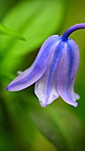 Bakgrundsbilder på skrivbordet Närbild Blåklockssläktet Suddig bakgrund Lila färg blomma