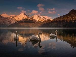 Hintergrundbilder Gebirge See Schwäne Österreich Almsee