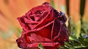 Hintergrundbilder Rosen Großansicht Rot Tropfen Blumen
