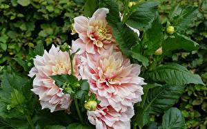 Fotos Dahlien Hautnah Rosa Farbe Blüte