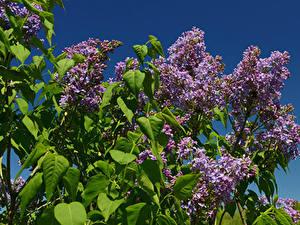 Hintergrundbilder Flieder Ast Blumen