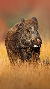 Picture Wild boar Grass Animals
