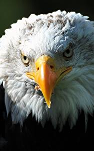 Fotos Vögel Habicht Großansicht Kopf Weißkopfseeadler Schnabel Starren Tiere