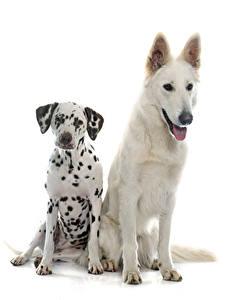 Bilder Hunde Weißer hintergrund Zwei Dalmatiner Shepherd Swiss Shepherd