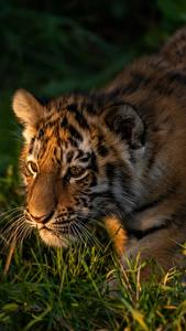 Fondos de Pantalla Tigris Cachorros Hierba