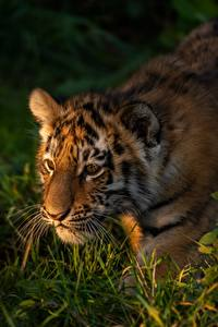 Hintergrundbilder Tiger Jungtiere Gras