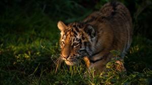 Hintergrundbilder Tiger Jungtiere Gras Tiere