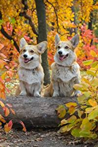 Pictures Autumn Dogs Two Welsh Corgi Foliage Animals