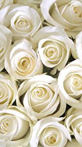 Fotos Rose Nahaufnahme Weiß Blumen