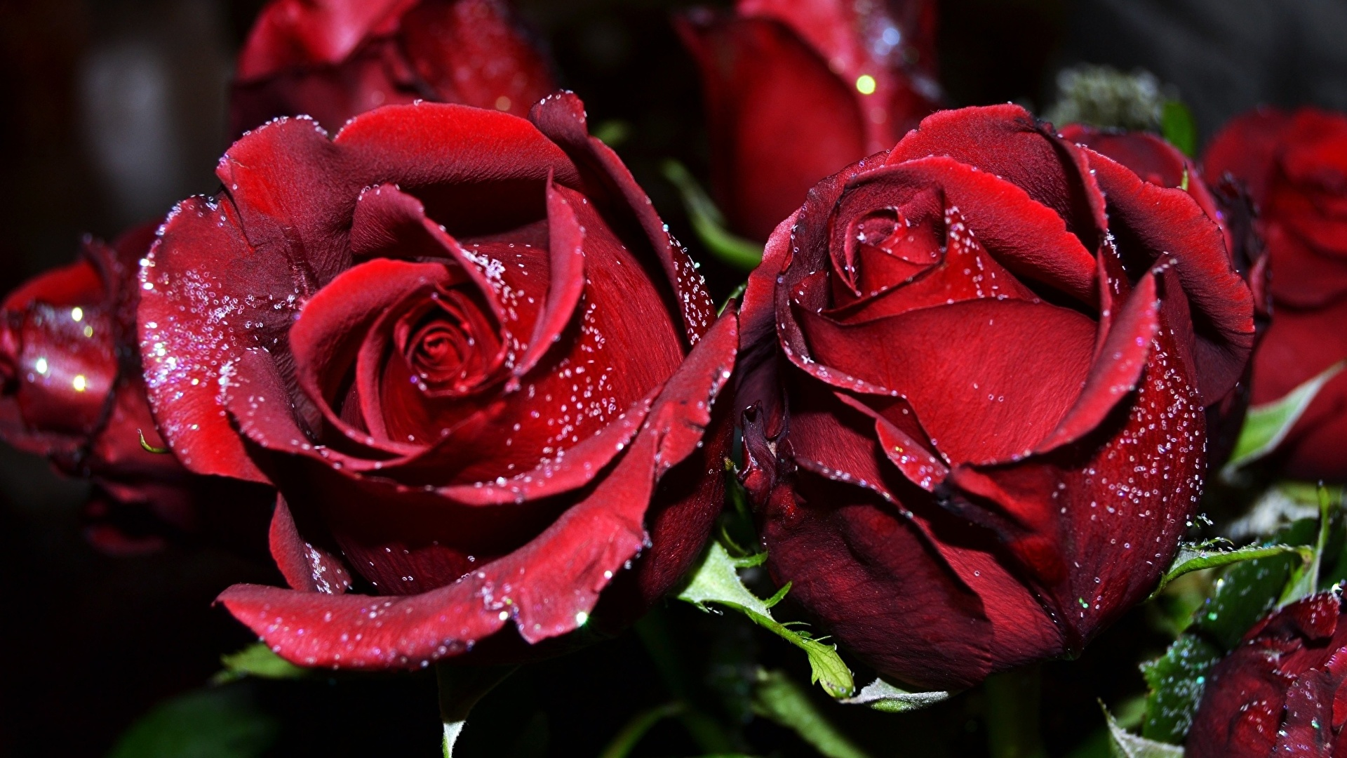 Image Red Roses Flowers Closeup 1920x1080