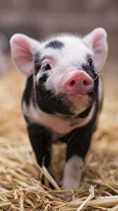 Pictures Domestic pig Cubs Straw Animals