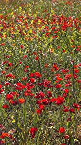 Bilder Grünland Mohnblumen Blüte