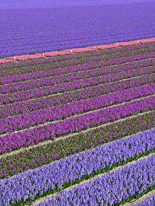 Wallpapers Netherlands Fields Hyacinths Many Multicolor Lisse Flowers