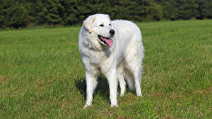 Pictures Dogs Grass Tongue White Kuvasz Animals