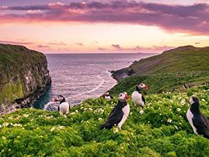 Hintergrundbilder England Lunde Vogel Meer Felsen Wales Skomer Island Natur