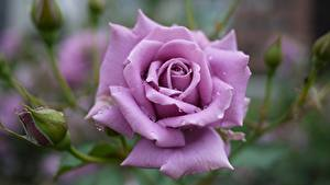 Bilder Großansicht Rosen Violett