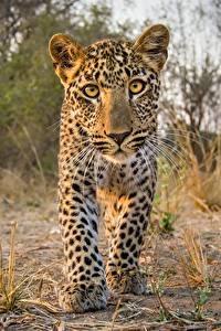 Hintergrundbilder Leopard Jungtiere Starren Tiere