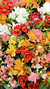 Images Alstroemeria Many Closeup Flowers