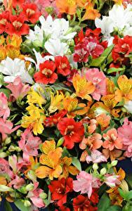 Fotos Alstroemeria Viel Großansicht Blumen