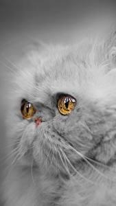 Bilder Katze Großansicht Perserkatze Blick Flauschige Graue Schnauze Grauer Hintergrund ein Tier