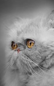 デスクトップの壁紙、、飼い猫、クローズアップ、ペルシャ (ネコ)、凝視、ふわふわ、灰色、動物のスナウト、グレーの背景、動物