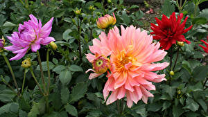 Fotos Dahlien Hautnah Knospe Blumen