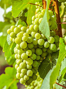 Fotos Weintraube Großansicht das Essen