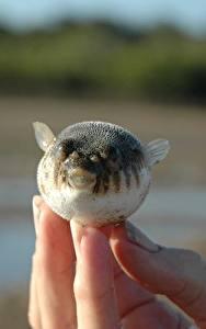 Bilder Fische Finger Großansicht Fugue ein Tier