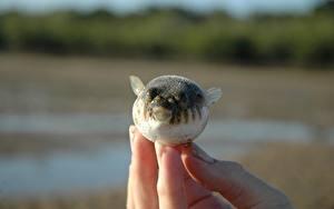 Pictures Fish Fingers Closeup Fugue Animals