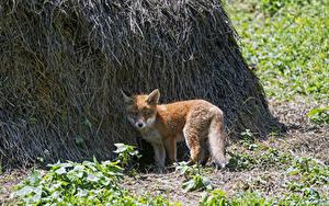 Hintergrundbilder Füchse Jungtiere Stroh