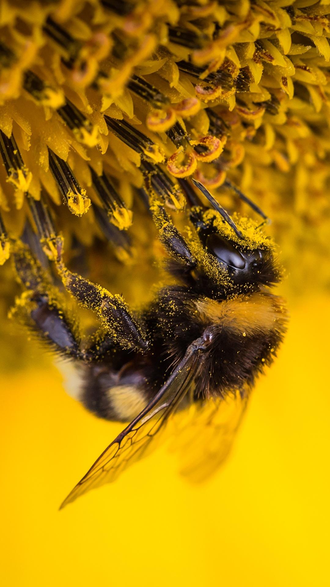 Foto Hummeln Insekten Blütenstaub Tiere hautnah 1080x1920 für Handy Pollen ein Tier Nahaufnahme Großansicht