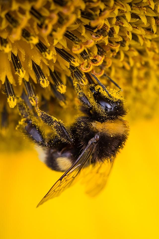 Foto Hummeln Insekten Blütenstaub Tiere hautnah 640x960 für Handy Pollen ein Tier Nahaufnahme Großansicht