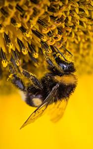 Wallpaper Closeup Insects Bumblebee Pollen Animals