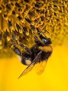 Fonds d'écran En gros plan Insectes Bourdon Pollen Animaux