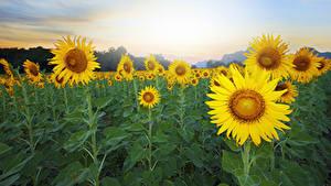 Fotos Felder Sonnenblumen Nahaufnahme Natur