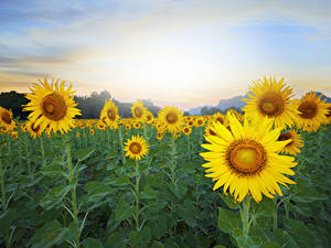 Fotos Felder Sonnenblumen Nahaufnahme