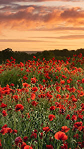 Pictures Fields Poppies Many Sunrises and sunsets flower Nature