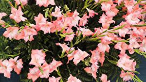 Fotos Schwertblume Viel Rosa Farbe Blumen