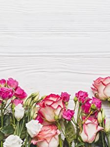 Fotos Rosen Vorlage Grußkarte Blüte