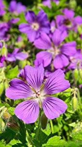 Tapety na pulpit Bodziszek Z bliska Dużo Fiolet kwiat