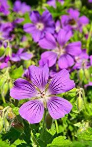 Bilder Storchschnäbel Großansicht Viel Violett Blüte