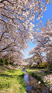 Fotos Japan Präfektur Tokio Frühling Park Blühende Bäume Natur